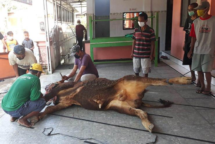 Sapi Kurban di Sleman Terserang Cacing Hati, DPPP Sleman: Jangan Dikonsumsi