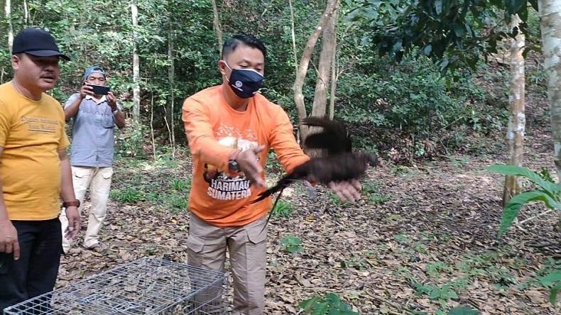 5 Ekor Burung Kuau Kerdil Sumatera Dilepasliarkan ke Hutan Barumun Padanglawas