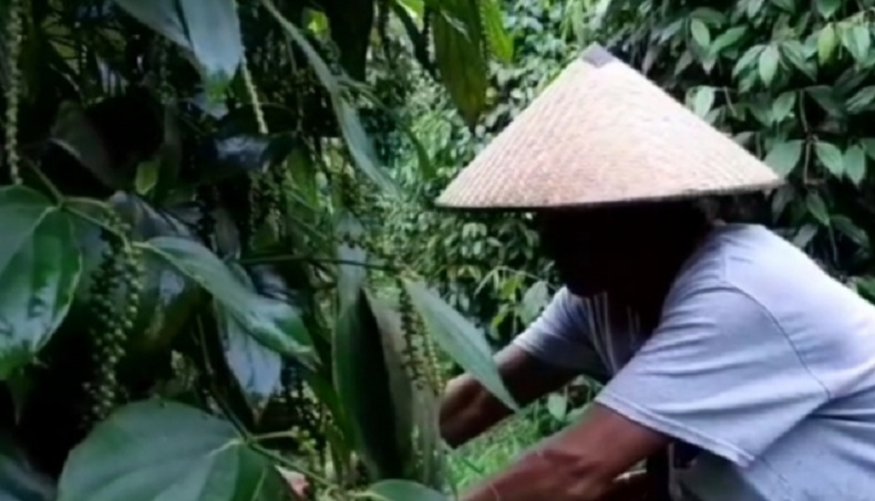 Petani Lada Putih di Kalbar Semringah, Harga Naik Nyaris 100 Persen