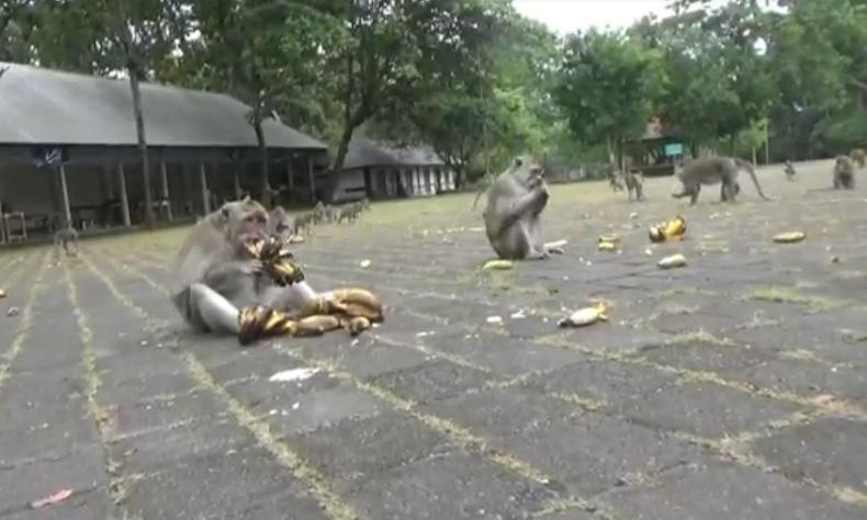 Monyet di Sangeh Disebut Serang Warga karena Kelaparan, Pengelola Bilang Tak Ada