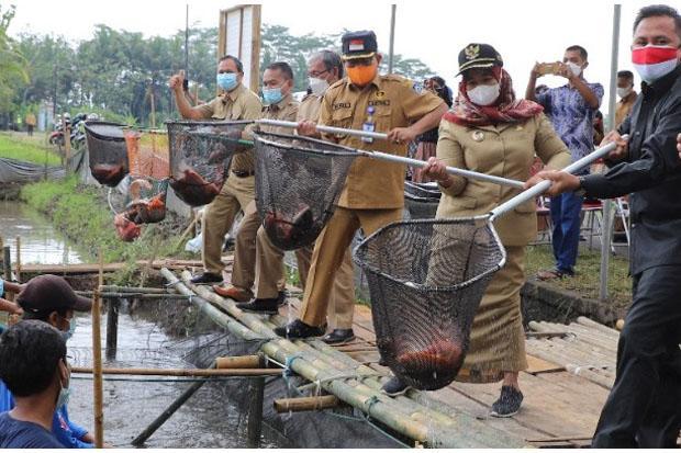 Sleman Tingkatkan Produksi Ikan dengan Sistem Mina Padi