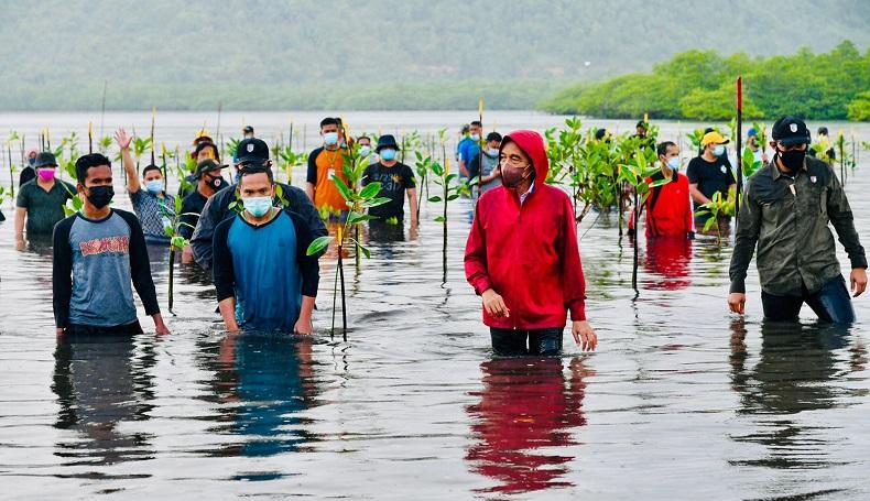 Aksi Jokowi Nyemplung saat Tanam Mangrove di Batam