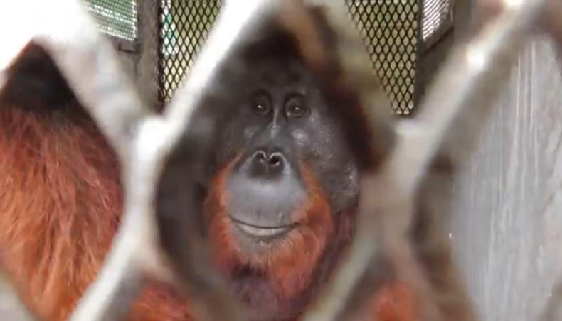 Diduga Kehabisan Makanan, Orangutan Muncul di Kawasan Bandara Iskandar Pangkalan Bun