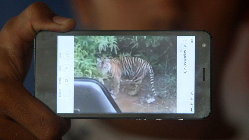 Ini Bukti Harimau Sumatera Mendekati Permukiman Warga Nagan Raya