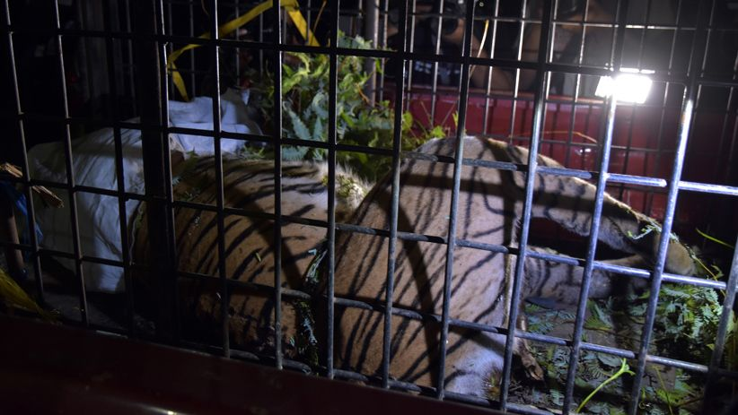 Pegawai Perkebunan di Langkat Ditemukan Tewas Diduga Diterkam Harimau